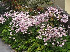 50+ ANEMONE MULTIFIDA WILDFLOWER MIX, ROSE-PINK & WHITE FLOWER SEEDS, HARDY!