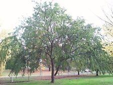 Chinese Elm Seedling - Garden - Parkland - Bonsai (Ulmus parvifolia)