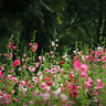 200 Pcs Hollyhock Carnival Mixed Flower Plant Seeds Garden Perennial Flower