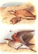 BRITISH BIRDS. Cream-coloured Courser; Collared Pratincole. THORBURN 1925