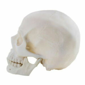Life Size 1:1 Replica Realistic Human Skull Head Bone Teach Model Made of Resin