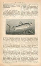 Poisson Corégone Coregonus fera Féra du Lac Léman Pêcheur Suisse GRAVURE 1869