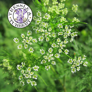 RARE Chaerophyllum bulbosum root vegetable 50 seeds  UK SELLER