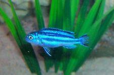 Electric Blue Johanni Cichlid Live Tropical Freshwater Aquarium Fish Cichlids