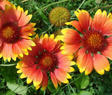BLANKET FLOWER Gaillardia Aristata - 100 Seeds