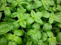 Basil Seed, Genovese, Heirloom Herb, Sweet Basil, Non-Gmo, Best For Pesto 100ct
