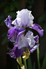 """1 Tall Bearded Iris """"Tempting Fate"""" - Large Rhizome, size #1 - Shipping Now!"""