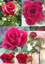 Rare - Long Stem Red Rose ( Thornless Rose) Live Plant