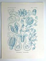 1899 Ernst Haeckel Kunstformen 1st ed. Original Antique Plate #27 - Hormiphora