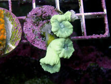 New listing Indo Green Trumpet -Wysiwyg Live Coral Frag- Coral Savers