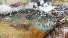 3 GREEN BUBBLEGUM AMAZING ICE FISHING JIGS CATCHES BIG BLUEGILLS CRAPPIES PIKE