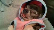A GIFT FOR. COOKIE RESCUE CHIHUAHUA can you help