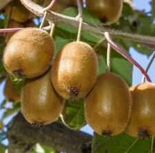 Kiwi Fruit Vine Actinidia Jenny 9cm Pot Sweet Juicy Edible Fast Growing