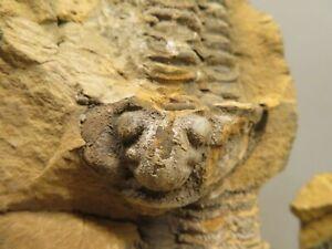 Crystal & Fossil Art - Single/Double Genuine Trilobite Fossil + Lge/Sml Eco Std