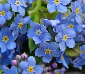 Blue Forget me Not 25+ Seeds Myosotis alpestris PERENNIAL Alpine Bees Flower Uk