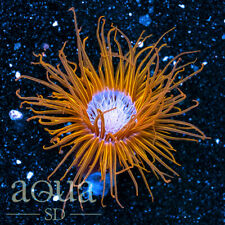 Asd - 001 Sunflower Tube Anemone - Wysiwyg - Aqua Sd Live Coral Frag