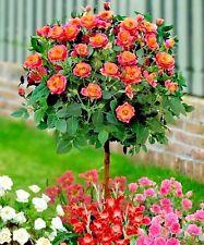 50 Pcs Orange Rose Tree Seeds, Smelling Fragrant Rose Flower Seeds