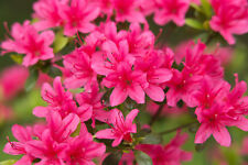 Japanese Azalea / Rhododendron Geisha Pink 15-20cm Tall in 2L pot,Pink Flowers