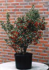 Ilex aquifolium 'Alaska' / Holly Tree, grown peat free as 3L pot plant, 3ft