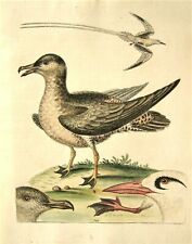 GEORGE EDWARDS ORIGINAL HAND COLORED BIRD ETCHING: PLATE 149: LONDON, 1749