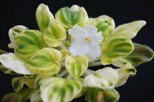 OS-Dzhungarik Blatt/ leaf African Violet Usambaraveilchen