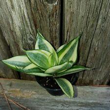 Sansevieria Golden Hahnii Succulent Hardy Air Purifier Snake Plant r1