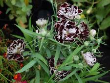 40+ DIANTHUS BLACK & WHITE, VELVET 'N LACE FLOWER SEEDS, PERENNIAL, FRAGRANT