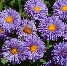 Erigeron 'Azurfee' or 'Azure Fairy' / Fleabane / 100 Seeds