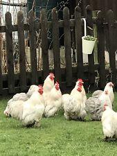 Bobtail pekin hatching eggs x12