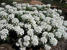 Iberis Perennial Candytuft Ground Cover 24 Plants 3-1/2 inch Pots FREE SHIPPING