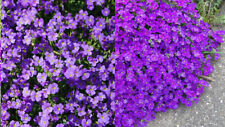 Aubretia Aubrieta False rock cress  2200 seeds bulk Aubriète Blaukissen 1gm