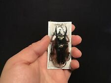 Entomologie Insecte Dynastidae Coleoptére Chalcosoma atlas keyboh 60/70mm!!
