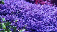 Blue ohctode macro algae live coral refugium chaeto caulerpa