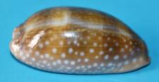 SEA SHELL - CYPRAEIDAE - CYPRAEA  CERVINETTA   - 66.30mm.
