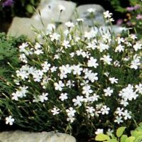 Dianthus Deltoides- White- 100 seeds
