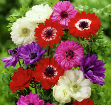 ANEMONE St BRIGID MIXED 15 BULBS SPRING & SUMMER FLOWERS READY TO DISPATCH FP&P