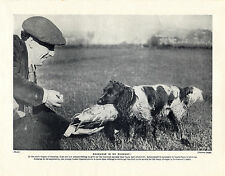 COCKER SPANIEL YOUNG WORKING DOG IN TRAINING OLD ORIGINAL PRINT PAGE FROM 1934