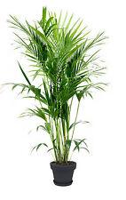 Die Kentia Zimmerpalme Palmenbaum besondere Einrichtung für das Haus den Balkon