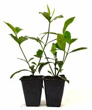 Gardenia Jasminoides Veitchii Fragrant 2 Pack Indoor Live Plant Houseplant Tree
