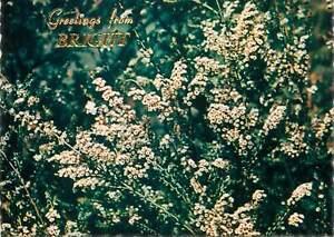 Postcard Australia Thryptomene calycina Bushy Heath Myrtle Grampians mountains