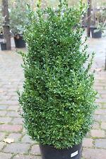 Buxus Sempervirens - Box Plants- Superb Garden Plants- Bushy 100cm Tall Plants