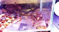 "5 pack VIP SRD Flowerhorn f3 fry 1.5-2"" Full wrap Huge kok Gene awesome fish"