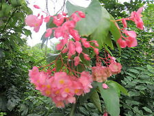 10 THIN STEM CUTTINGS Pink Angelwing Begonia Tropical House Flower Plant