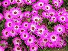 "Ice Plant Livingston Daisy ""Dorotheanthus"" 500 Seeds"