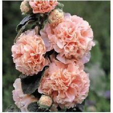 6 graines de ROSE TREMIERE DOUBLE SAUMON(Alcea Rosea)X152 SALMON HOLLYOCK SEEDS