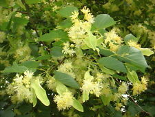 Tree seeds Linden (leaved) from Ukraine