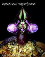 Paphiopedilum rungsuriyanum 1growth bloom size