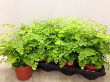 Adiantum raddianum Fragrans 35cm tall Maidenhair fern house plant