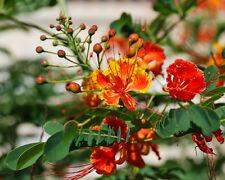 15 Samen Pfauenstrauch - Caesalpinia pulcherrima - Stolz von Barbados - seeds