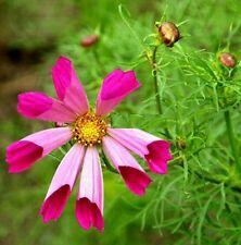 Fd1758 Tubular Cosmos Seed Calliopsis Garden Flower Seeds ~1 Pack 50 Seeds~ G